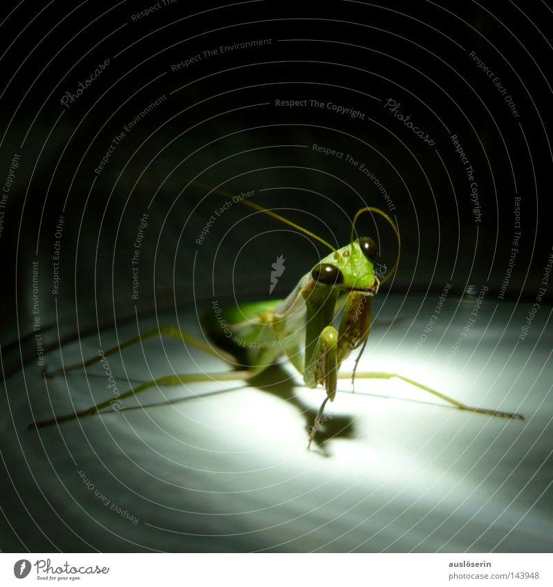 Auf zum Gebet #2 grün Tier Angst entdecken Insekt gefangen Fühler erstaunt Gottesanbeterin