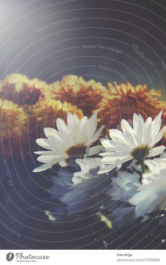 Blumen Umwelt Natur Frühling Sommer Herbst Winter Pflanze ästhetisch Duft dunkel Kitsch natürlich schön gold grau orange schwarz weiß Lebensfreude