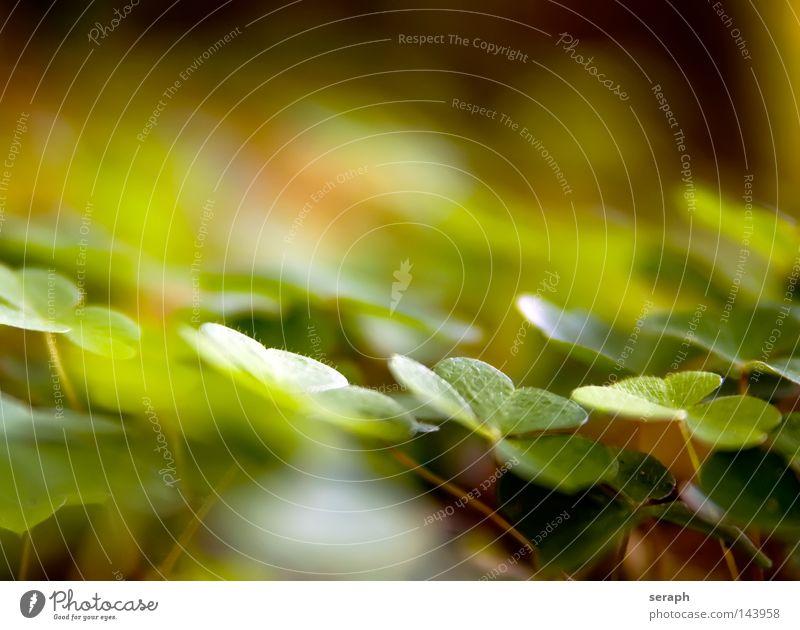 Waldklee Natur grün Pflanze Blatt Umwelt Wiese Herbst Stil Glück Hintergrundbild Feld Rücken Symbole & Metaphern Suche Stengel Bioprodukte