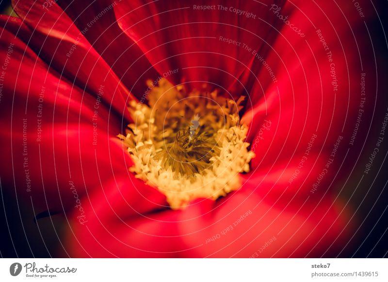 Schmuckkörbchen II Blume Blüte Blühend nah gelb rot Duft zart Blütenblatt Makroaufnahme Textfreiraum rechts Unschärfe Schwache Tiefenschärfe