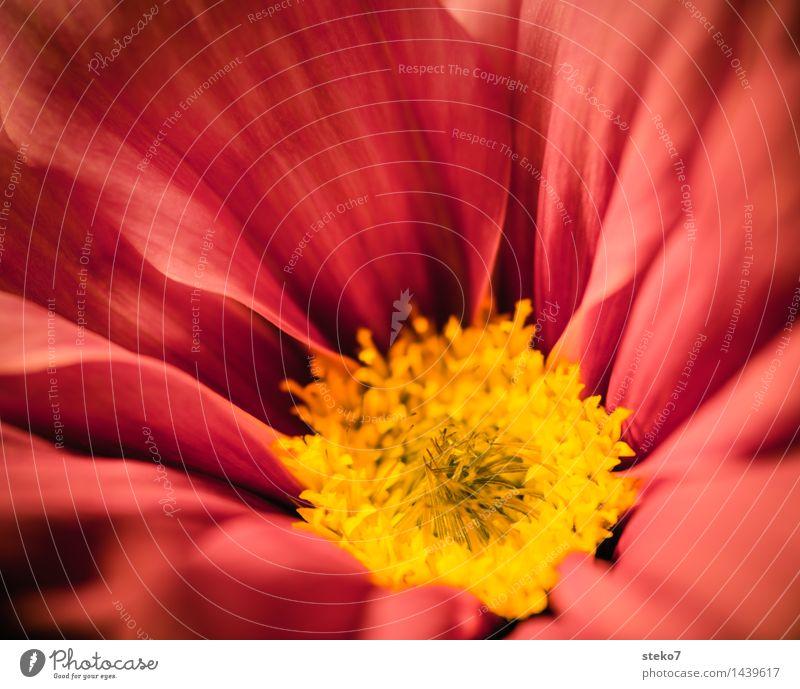 Cosmea Blume rot gelb Blüte Blühend weich zart Duft Blütenblatt Schmuckkörbchen