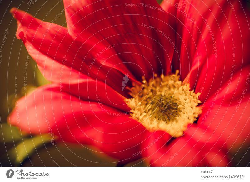 Cosmea Blume Blüte Schmuckkörbchen Blühend Duft gelb rot Blütenblatt Makroaufnahme Menschenleer Textfreiraum unten Schwache Tiefenschärfe