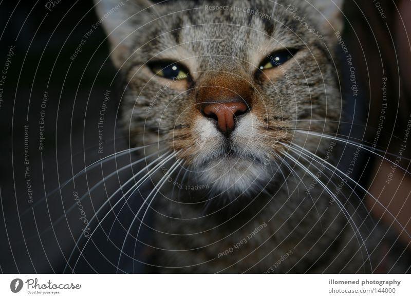 Kater Findus Tier Katze Nase Tiergesicht Fell Säugetier Haustier Schnauze Anschnitt Hauskatze Schnurrhaar verkatert Katzenauge Tigerfellmuster Katzenkopf