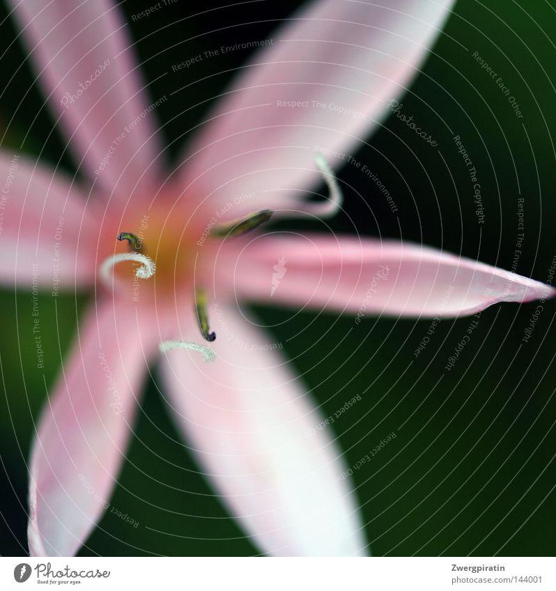 Staubblätter Blume Blüte rosa Blütenblatt weiß grün Wasserpflanze blau Staubfäden Biegung biegen Spirale Drehung braun Pollen fliegen bestäuben Makroaufnahme