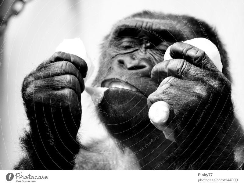 I went to the zoo.. Gorilla Affen Tier Zoo Tiergarten Ernährung Mahlzeit lecker schwarz weiß Hand Menschenaffen Studie Futter Maul bedrohlich ausgestorben