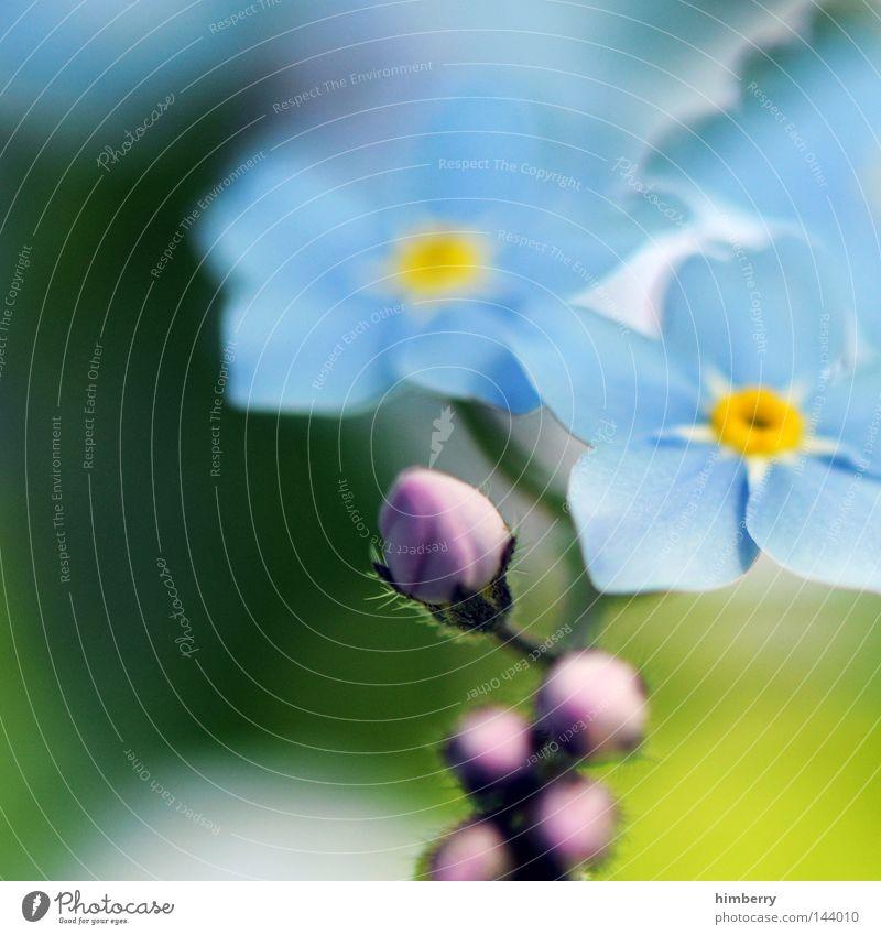 sunday millions Blume Makroaufnahme Blüte violett rosa Fliederbusch Blütenknospen Blattknospe Blütenblatt Botanik Natur Sommer Frühling frisch Wachstum Pflanze