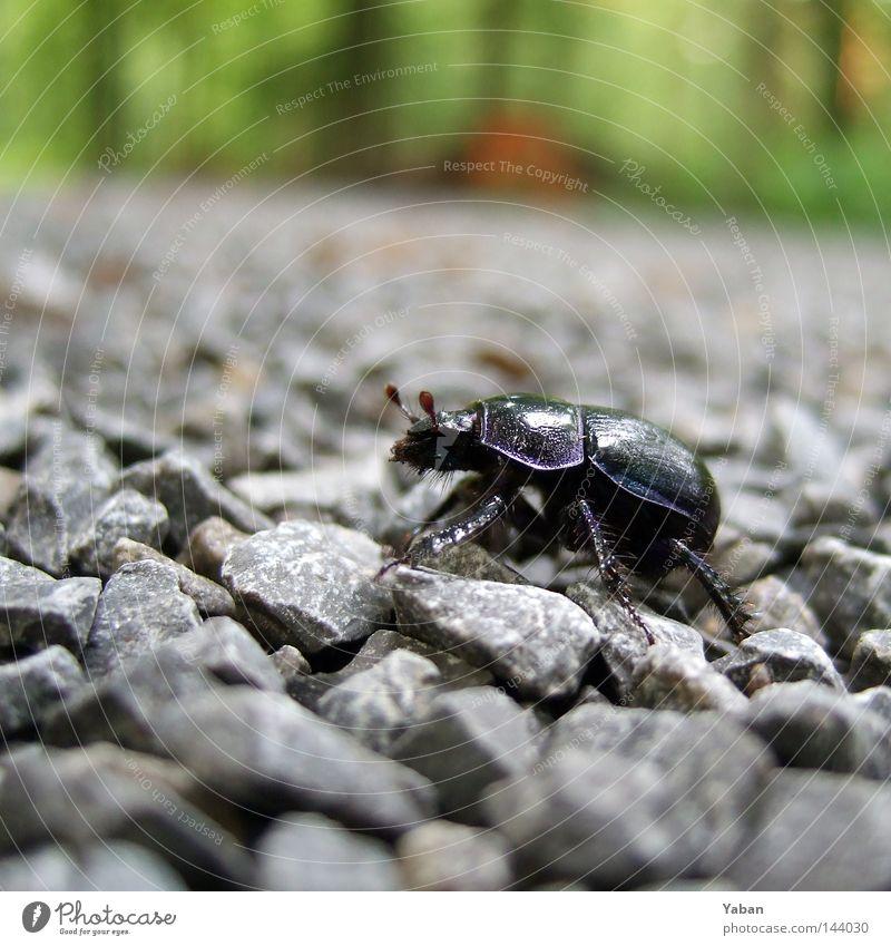 A bug's life Insekt aufwärts Käfer anstrengen Kies Chitin Schwarzkäfer
