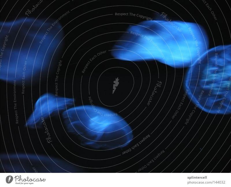 Blaue Ufos I Wasser blau Tier Fisch Zoo Aquarium UFO Unterwasseraufnahme Qualle Außerirdischer