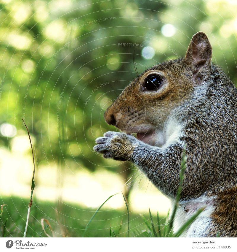 graues hörnchen Eichhörnchen Park Tier festhalten Besitz Wachsamkeit Oberkörper füttern Futter geizig Gier Geschwindigkeit grün Hintergrundbild Wunsch niedlich