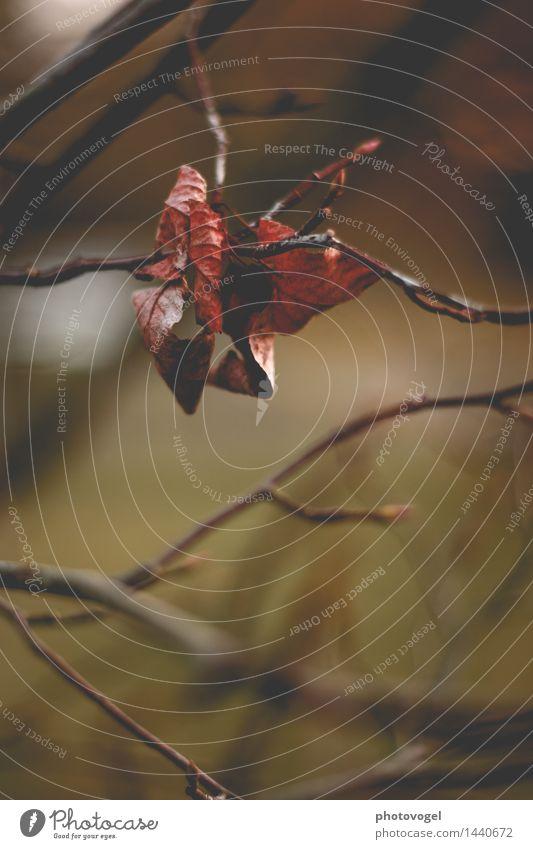 Das Ende naht! Umwelt Natur Pflanze Herbst Baum Blatt verblüht dehydrieren alt authentisch braun grün rot Traurigkeit Vergänglichkeit Farbfoto Außenaufnahme