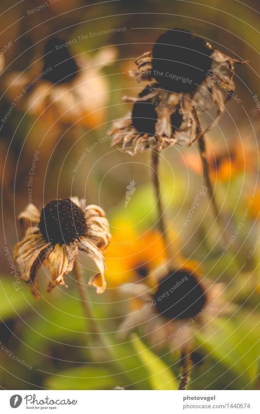 Imperfection Natur Pflanze Herbst Blume Blüte Blütenpflanze Garten alt dunkel trocken braun gelb grün schwarz Traurigkeit Trauer unbeständig Vergänglichkeit