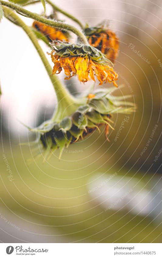 Abhängen Umwelt Natur Pflanze Blume Blüte Sonnenblume Garten alt verblüht authentisch trocken gelb grün Traurigkeit Sorge Trauer unbeständig Vergänglichkeit