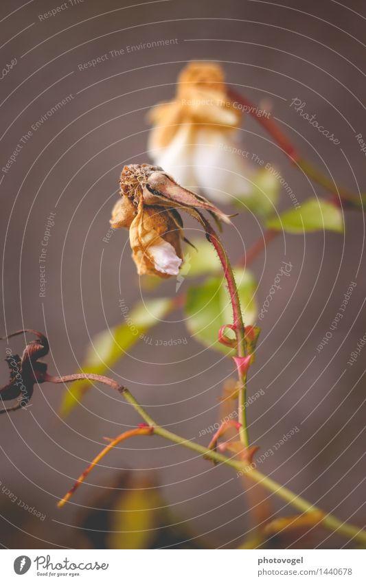Imperfection III Umwelt Natur Pflanze Herbst Blume Rose Blatt Blüte Garten alt verblüht authentisch grün weiß Traurigkeit Tod Einsamkeit Farbfoto Außenaufnahme