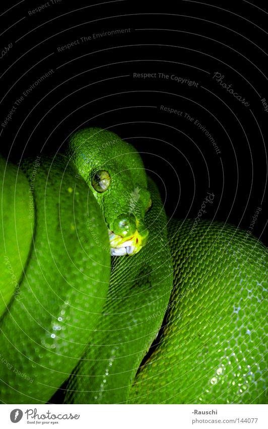 Grüner Baumphyton Grüner Baumpython Schlange gefährlich grün Zoo Phyton bedrohlich auf der Lauer Tier Reptil auf Bäumen
