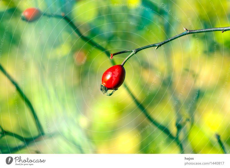 Hagebutte, reife Frucht Marmelade Alternativmedizin Medikament Pflanze Herbst Rose Wildpflanze grün rot Hagebutten Beeren Hintergrundbild unscharf Jahreszeiten