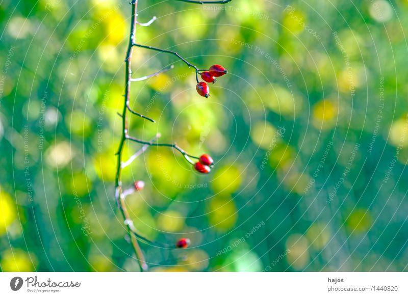 Hagebutten, reife Früchte Frucht Marmelade Alternativmedizin Medikament Pflanze Herbst Rose Wildpflanze grün rot Beeren Hintergrundbild unscharf Jahreszeiten