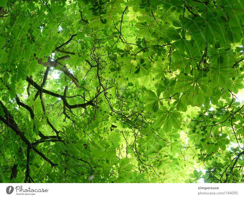 Grün für Anfänger Blatt Baum Geäst Sommer grün Laubbaum Blätterdach Kastanienbaum aufgeblickt Astwerk kränkelnde Kastanie Nackensteife nach dem Knipsen