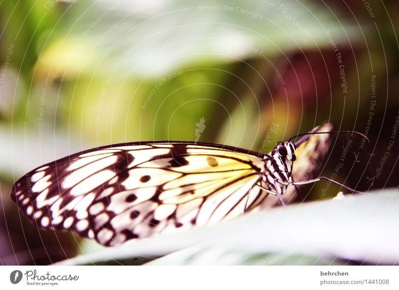 baumnymphe Natur Pflanze Tier Baum Sträucher Blatt Garten Park Wiese Wildtier Schmetterling Tiergesicht Flügel Weiße Baumnymphe Fühler Beine 1 beobachten