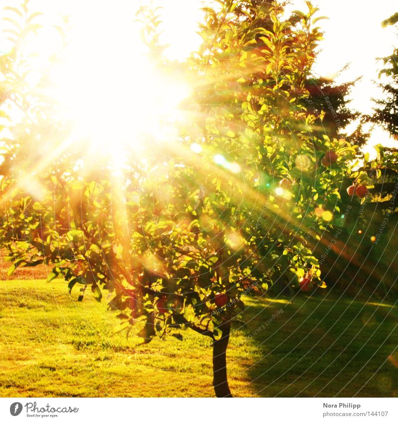 Sun is shining Farbfoto Außenaufnahme Tag Licht Schatten Sonnenlicht Sonnenstrahlen Gegenlicht Apfel Sommer Garten Natur Schönes Wetter Wärme Baum Blatt Wiese