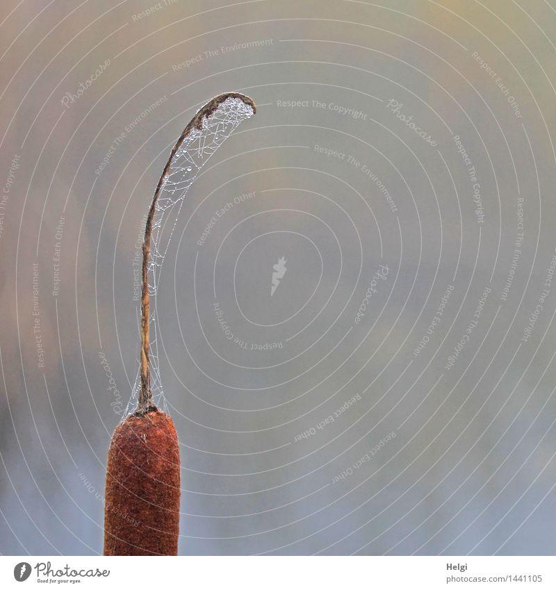 Helgiland II | Spinnereien überall... Umwelt Natur Pflanze Wassertropfen Herbst Nebel Rohrkolben Moor Sumpf Spinnennetz stehen außergewöhnlich einzigartig kalt
