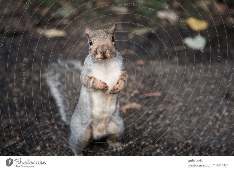 05_Katze im Park in London Tier Umwelt braun wild Wildtier Fröhlichkeit beobachten niedlich Freundlichkeit Neugier entdecken Appetit & Hunger frech Eichhörnchen