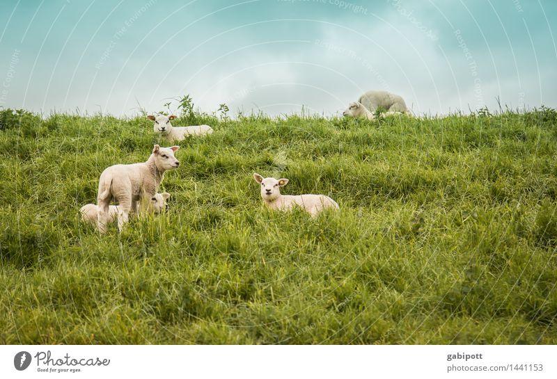 Warten auf Ostern Feste & Feiern Umwelt Natur Landschaft Himmel Frühling Schönes Wetter Gras Wiese Feld Tier Nutztier Schaf Lamm Schafherde Tiergruppe Herde