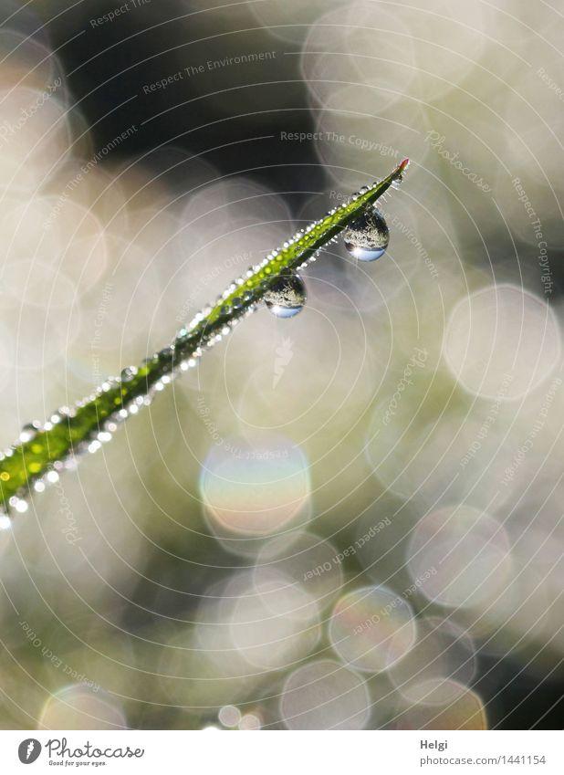 Helgiland II | 1200... Natur Pflanze Wassertropfen Herbst Schönes Wetter Gras Grünpflanze Halm Wiese glänzend hängen leuchten ästhetisch außergewöhnlich frisch
