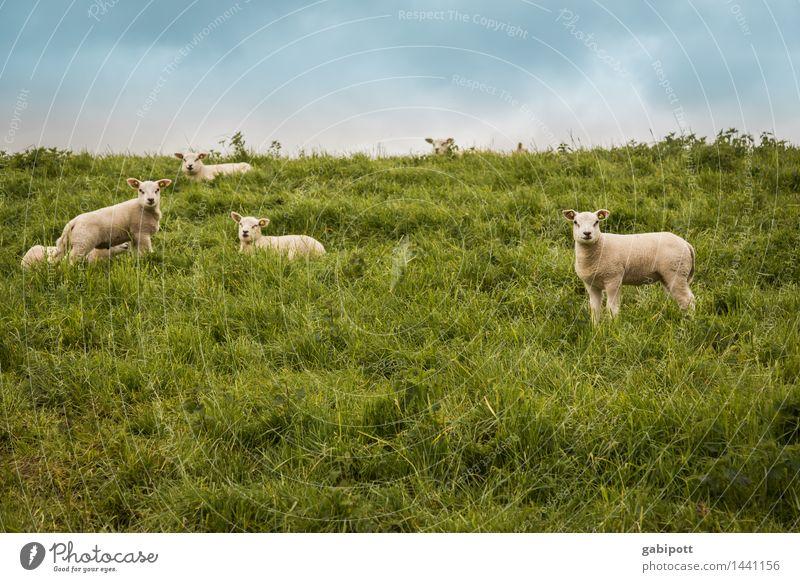 noch mehr schafe zum zählen Himmel Natur blau grün Sommer Landschaft Tier Umwelt Wiese natürlich Horizont Idylle warten Tiergruppe Lebensfreude beobachten