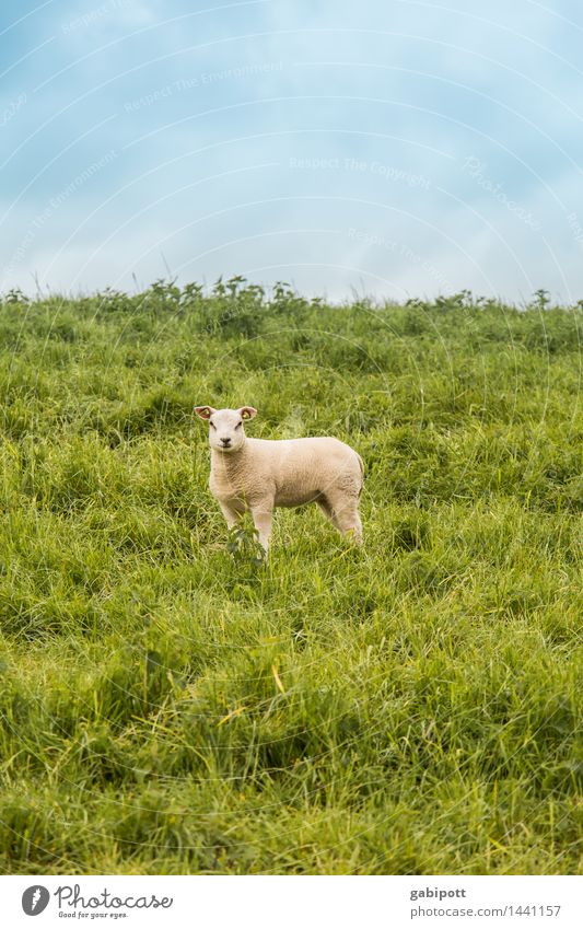 belämmert rumstehen Umwelt Natur Landschaft Pflanze Himmel Frühling Sommer Schönes Wetter Wiese Feld Tier Haustier Nutztier Schaf Lamm Lammfleisch 1 laufen