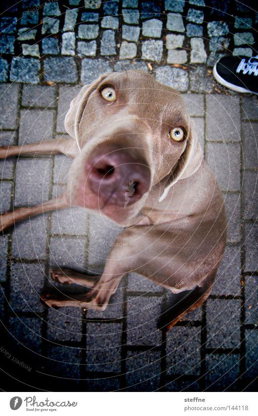no resistance Auge Hund süß Säugetier Schnauze verführerisch Tier betteln Hundeblick Knopfauge
