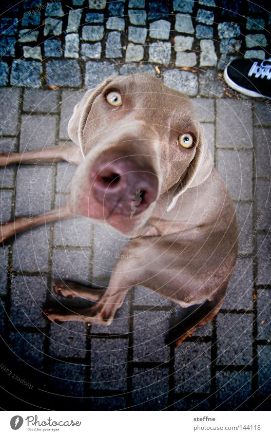 no resistance Hund Schnauze betteln Hundeblick süß verführerisch Knopfauge Säugetier Tia Auge