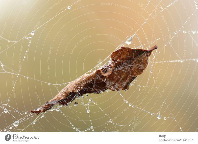 Helgiland II | eingesponnen... Umwelt Natur Wassertropfen Herbst Blatt Moor Sumpf Spinnennetz hängen authentisch außergewöhnlich kalt nass natürlich braun grau