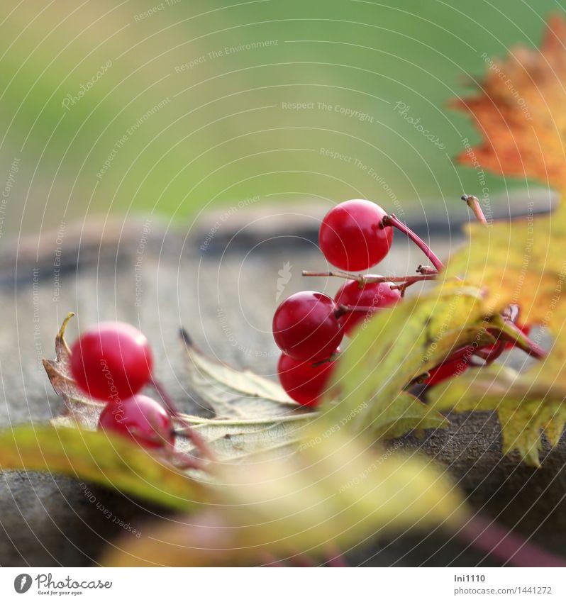 rote Beeren Umwelt Natur Pflanze Herbst Wetter Sträucher Blatt Gemeiner Schneeball Garten Park Feld Wald leuchten schön natürlich rund braun mehrfarbig gelb