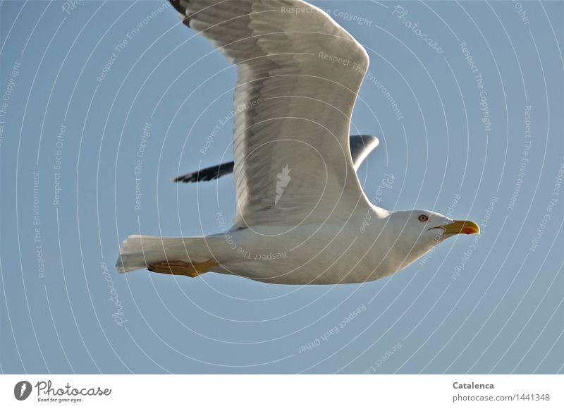 Neugierige Möwe harmonisch Meer Natur Tier Luft Himmel Wildtier Vogel Flügel 1 fliegen ästhetisch frei maritim grau orange schwarz schön Fernweh Bewegung