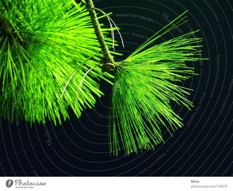 Föhrenzweig Wald-Kiefer Nadelbaum Nacht Natur grün schwarz Zweig Ast Kontrast branch pine conifer night contrast colourful saturation black leuchten