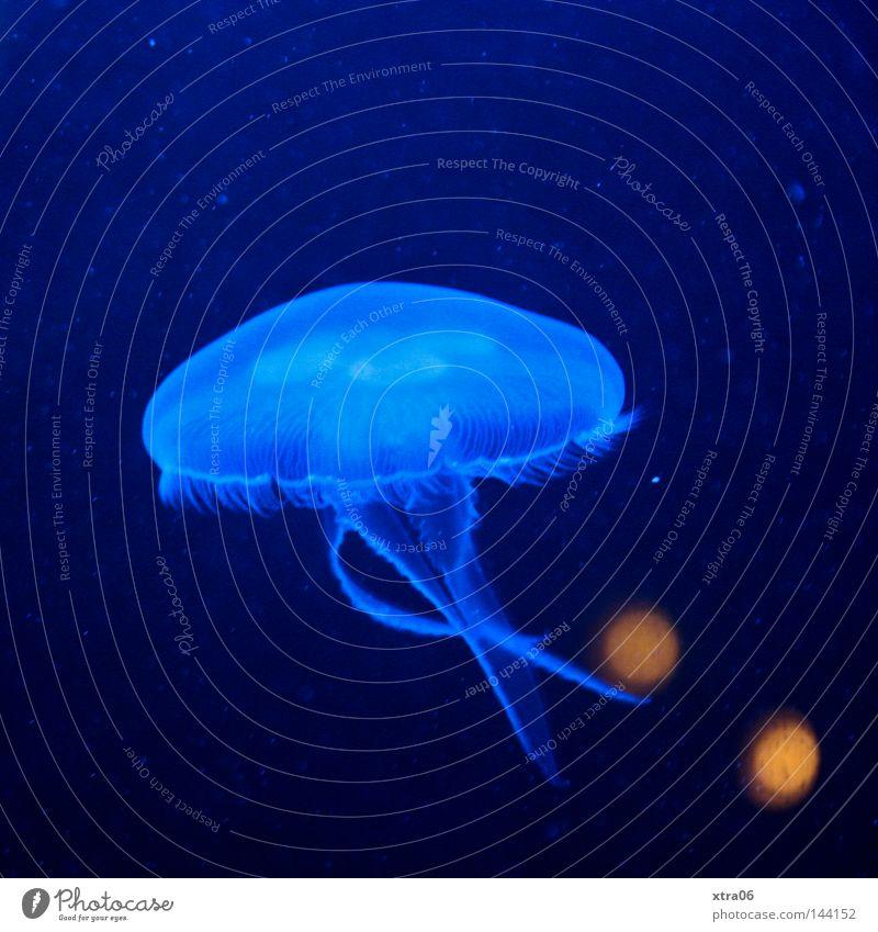 schwebend Qualle durchsichtig blau Wasser Meer Lebewesen Nesseltiere Fisch meeresbewohner