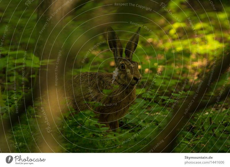 Hase im dunklen Walde Umwelt Natur Landschaft Pflanze Tier Frühling Sommer Herbst Schönes Wetter schlechtes Wetter Baum Efeu Blatt Wildpflanze Wildtier