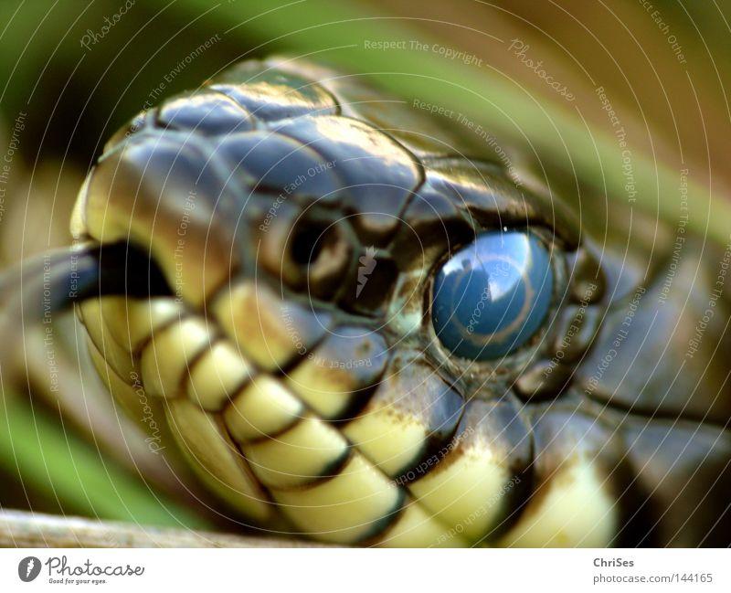 Deine blauen Augen....: Ringelnatter (Natrix natrix) Tier Reptil Tiergesicht Zunge Schlange Pupille Makroaufnahme selten Natter züngeln