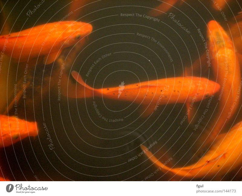 Fish Bewegung orange Fisch Teich Karpfen