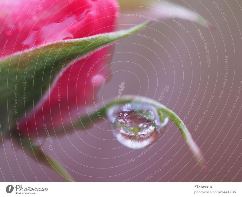 Tropfen Natur Pflanze Urelemente Wassertropfen Wetter Regen Rose Blüte Garten Park ästhetisch elegant nass natürlich schön weich achtsam ruhig Farbfoto