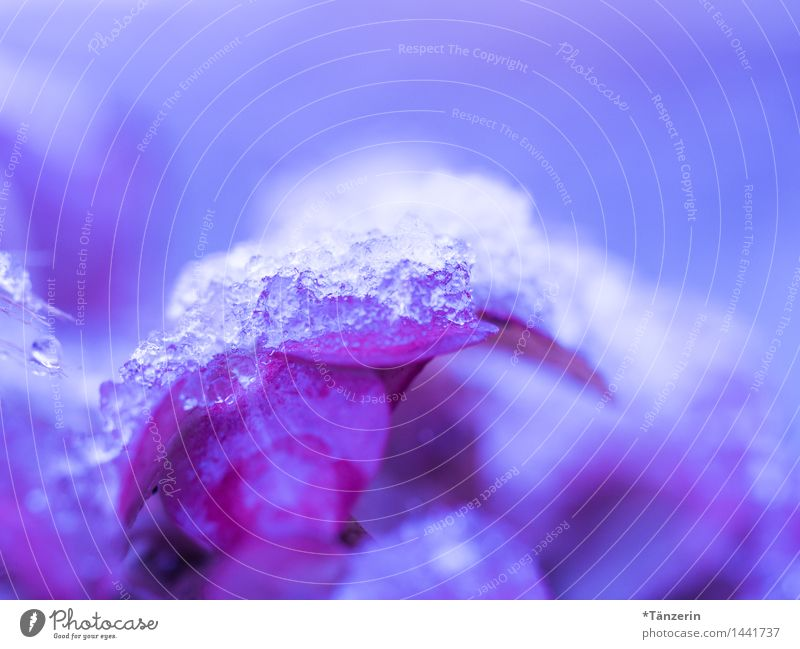 der erste Schnee Natur Pflanze Urelemente Herbst Winter Wetter schlechtes Wetter Eis Frost Blüte Hortensie Garten Park ästhetisch kalt natürlich schön blau rosa