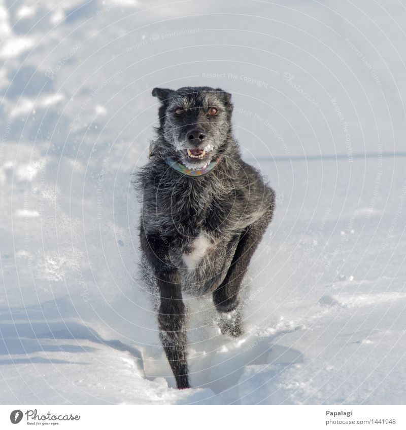 Glücklicher Hund I Natur schön Tier Freude Winter Bewegung natürlich Schnee hell springen Kraft Wind Fröhlichkeit ästhetisch