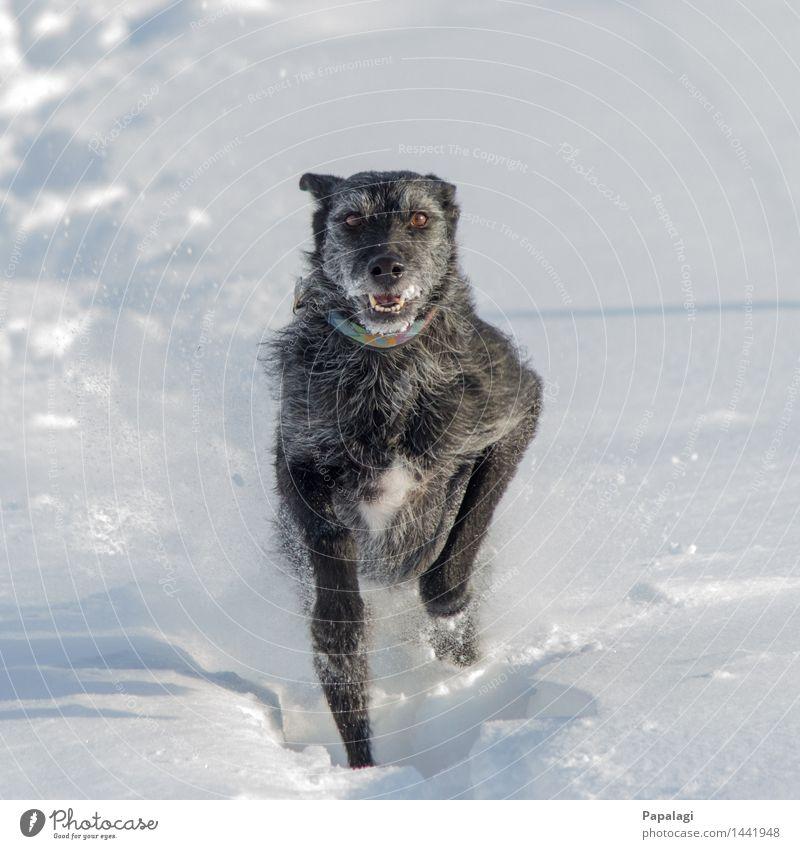 Glücklicher Hund I Natur Winter Schnee Tier Haustier 1 laufen rennen springen ästhetisch natürlich schön sportlich Freude Kraft Tierliebe Bewegung Fröhlichkeit