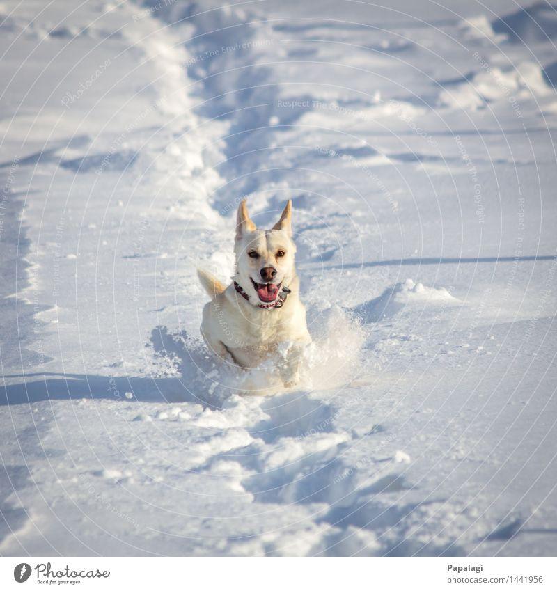 Glücklicher Hund II Tier Haustier 1 Natur Winter Schnee laufen rennen springen ästhetisch natürlich schön sportlich Freude Kraft Tierliebe Bewegung Fröhlichkeit