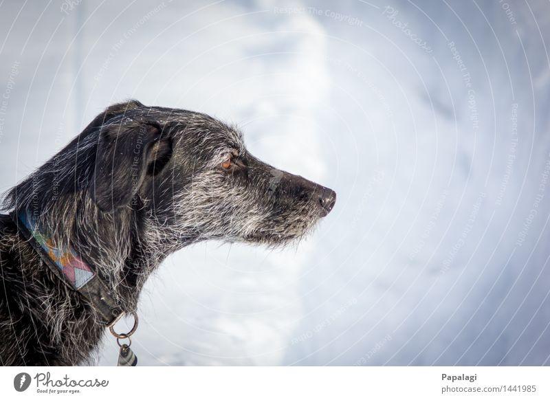 Alt & Nachdenklich Tier Hund 1 natürlich Natur Winter Schnee Haustier ästhetisch Tierliebe Tierfreund Gassi gehen Schneelandschaft Fell Frost Windhund