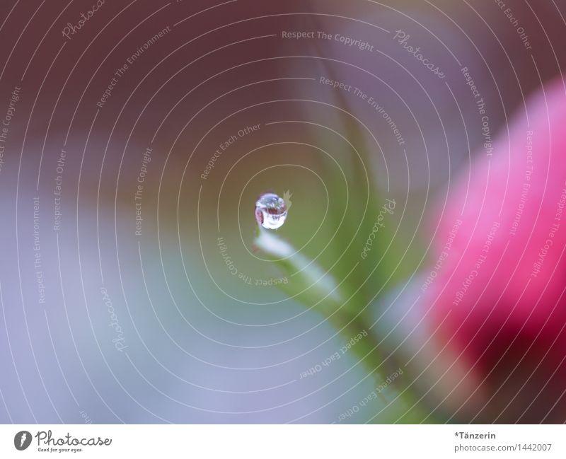 auf der Spitze Natur Pflanze Urelemente Wassertropfen Herbst Winter Wetter schlechtes Wetter Regen Rose Blüte Garten Park ästhetisch elegant Fröhlichkeit nass