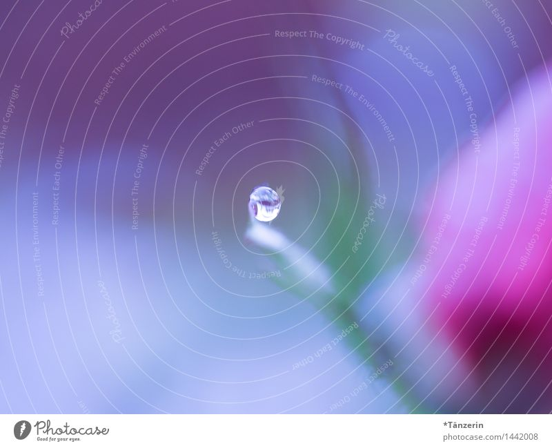 die Welt verschwimmt in blau und rosa Natur Pflanze Urelemente Wassertropfen Herbst Winter Rose Blüte ästhetisch nass natürlich schön weich achtsam Gelassenheit