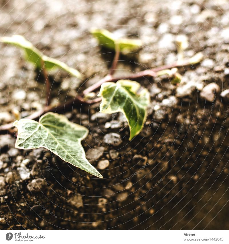 sich strebend bemühen Pflanze grün Blatt ruhig dunkel Wand Traurigkeit Mauer klein Stein braun Park Wachstum trist Hoffnung Trauer