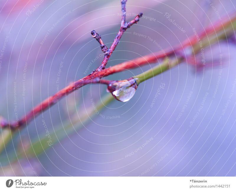 blaurosa Natur Pflanze Urelemente Wassertropfen Herbst Winter Regen Sträucher Garten Park ästhetisch nass natürlich positiv schön achtsam ruhig Farbfoto
