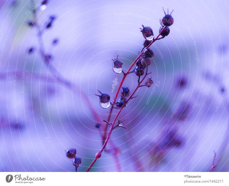 frozen drops Natur Pflanze Urelemente Wassertropfen Winter schlechtes Wetter Regen Eis Frost Sträucher Garten Park ästhetisch natürlich schön blau violett rosa